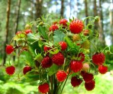 wild-strawberries