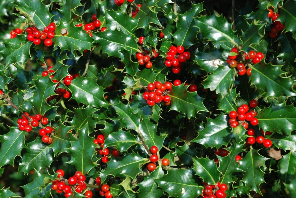 Christmas Plants: Holly and Ivy