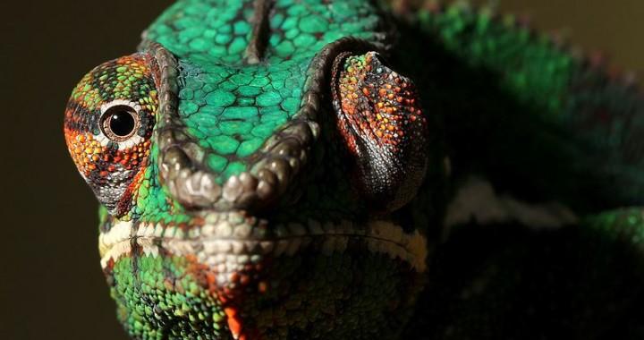 chameleon-eyes