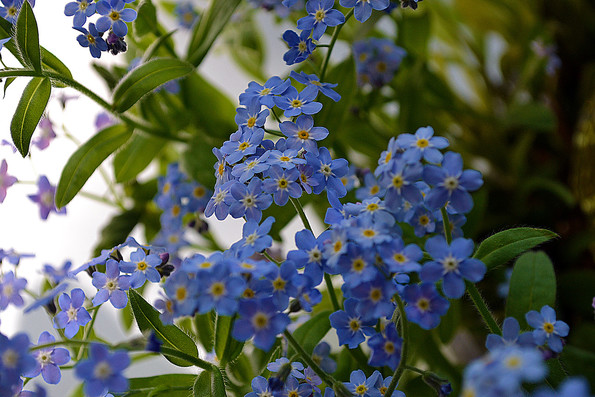 forget-me-no3t