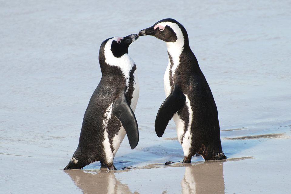 penguin-kiss