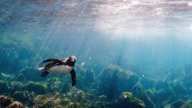penguin-swimming