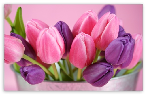 pink_and_purple_tulips