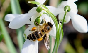 snowdrop-and-bee
