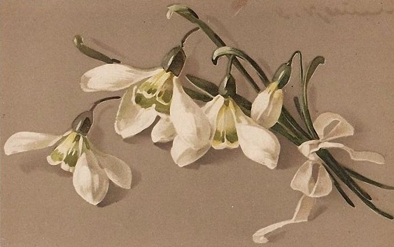 snowdrops-dried