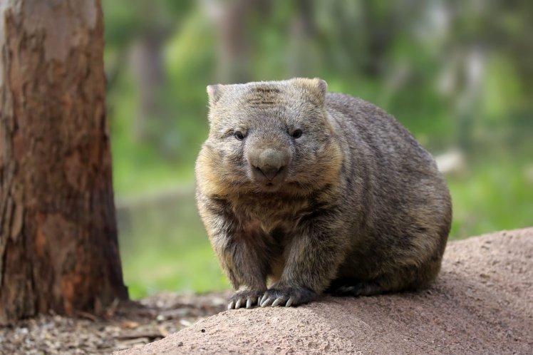 Common wombat, (Vombatus ursinus), adult, Mount Lofty, South Australia, Australia