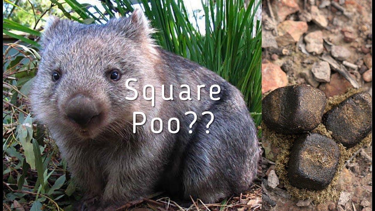 wombat3