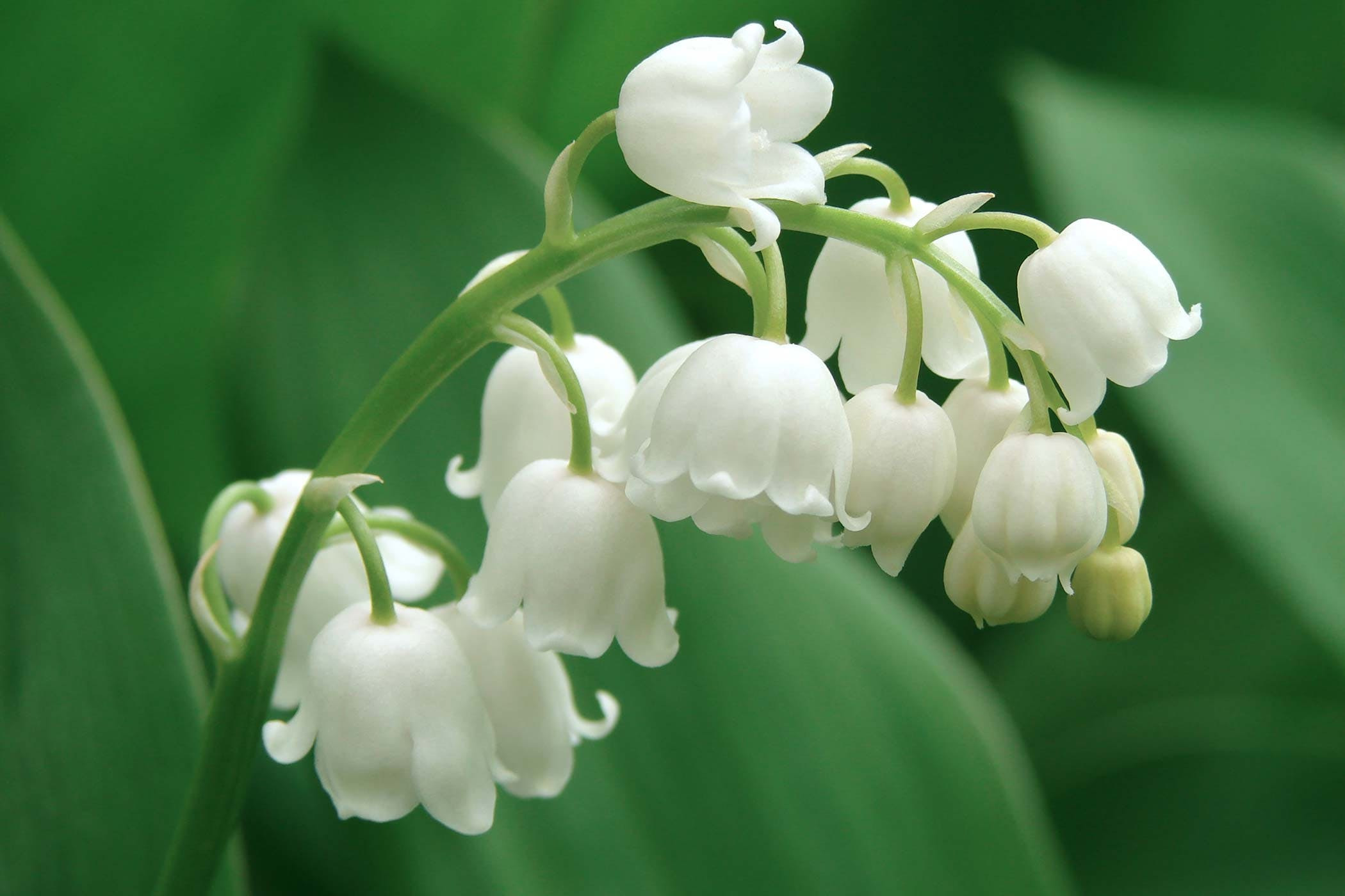 Lily of the valley may flower blog in2english lily of the valley is a popular ingredient in perfumes and other cosmetics izmirmasajfo