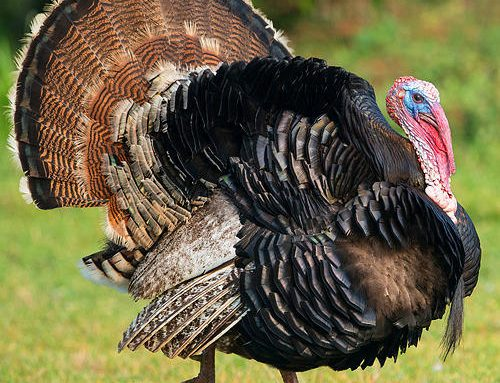 Interesting Facts About the Turkey