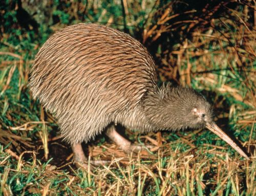Kiwi, National New Zealand Bird