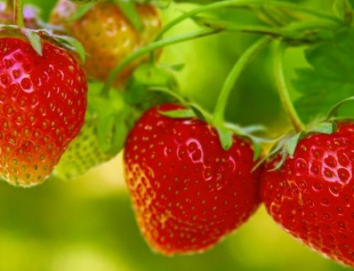 American Cherokee Legend of the Strawberry