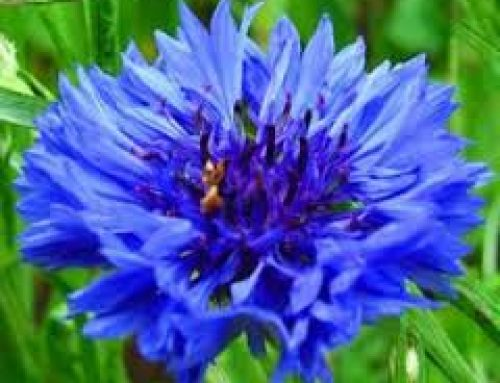 Interesting facts about cornflowers