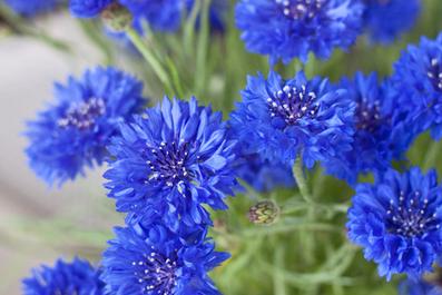 cornflowers3