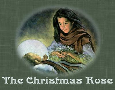christmas-rose6