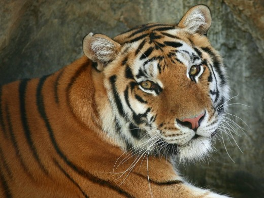 bengal-tiger2