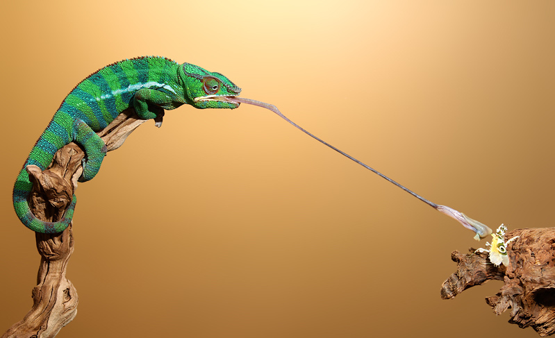 Panther-Chameleon-Tongue