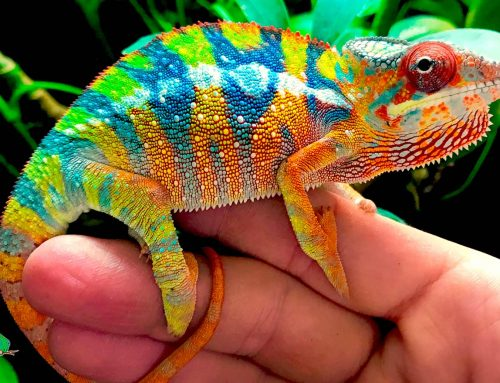 Chameleons, the Most Interesting Reptiles