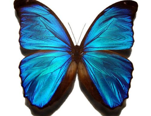 Morpho Peleides, Beautiful Butterflies