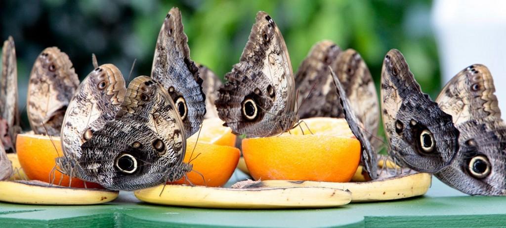 butterflies-eating