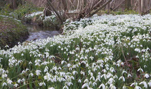 Snowdrops-flower-gardens-UK
