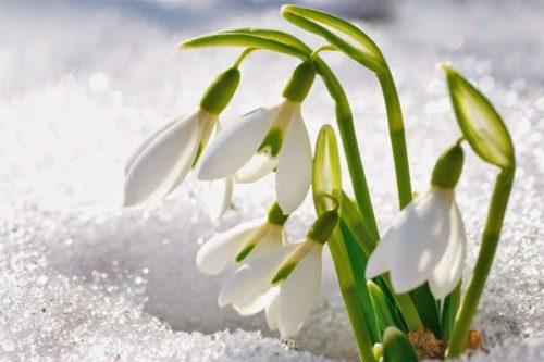 snowdrops5