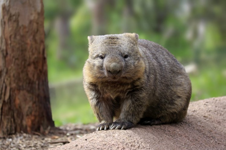 Common wombat, (Vombatus ursinus), adult, Mount Lofty, South Australia, Australia