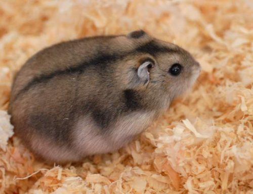 My Hamster Senya