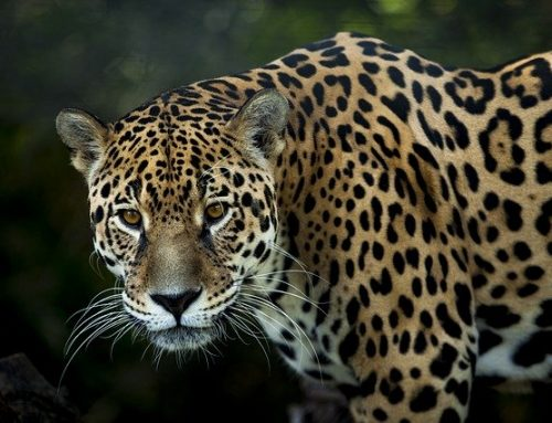 Big Cats Jaguars