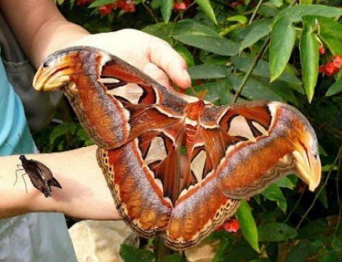 The Largest Moth and the Largest Butterfly